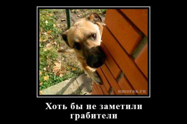 демотиватор с собакой, которая прячеться от грабителей